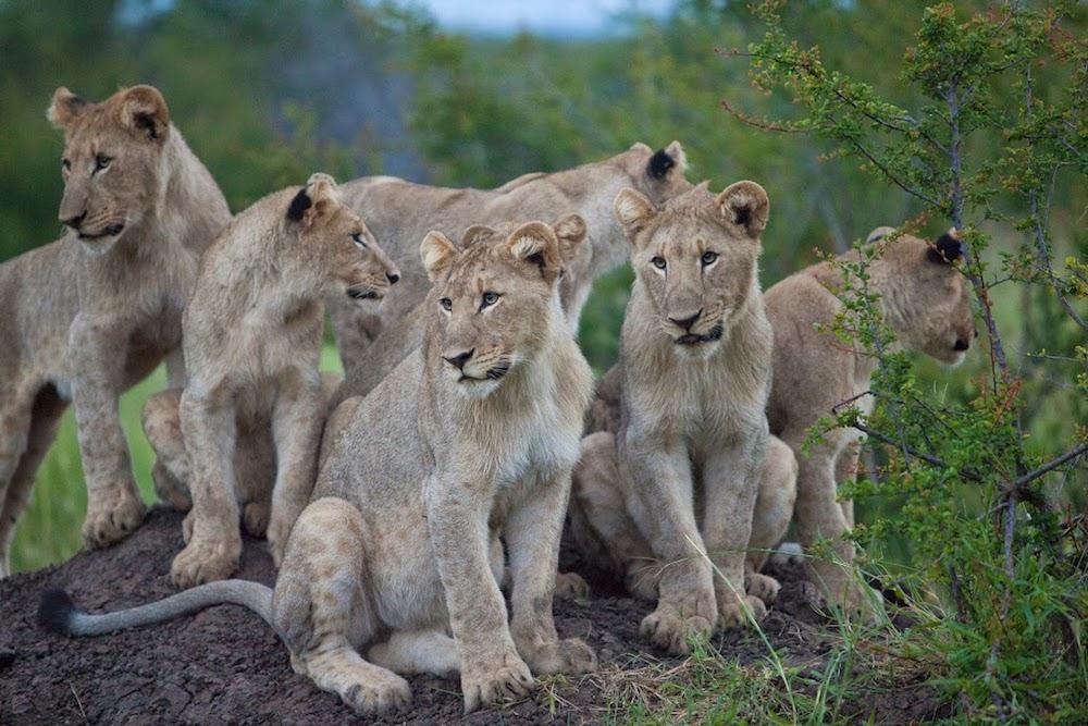 Madikwe lions