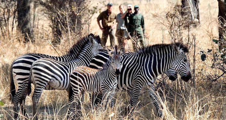 walking safari, south luangwa, zebra