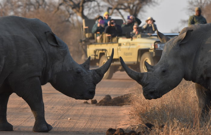 rhinos at kruger park