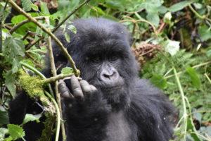 uganda, gorilla