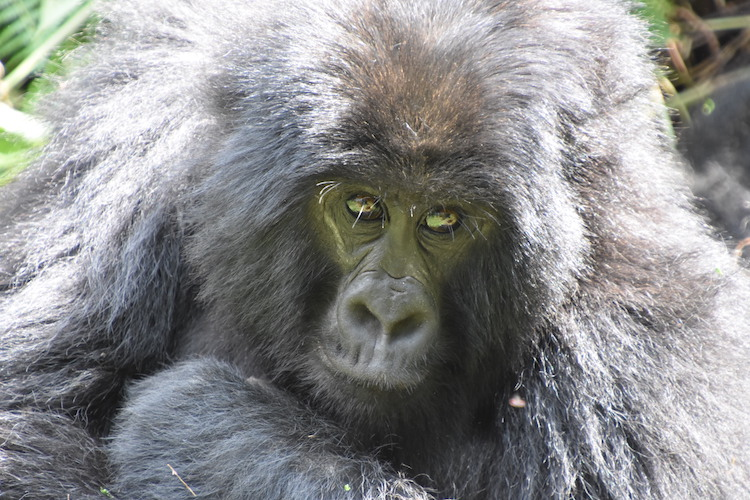 uganda gorilla