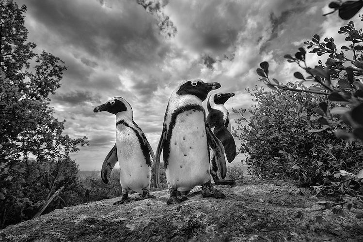 Penguins by David Marks