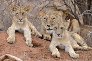 Kenya, Lions
