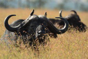 Buffalo Serengeti N.P