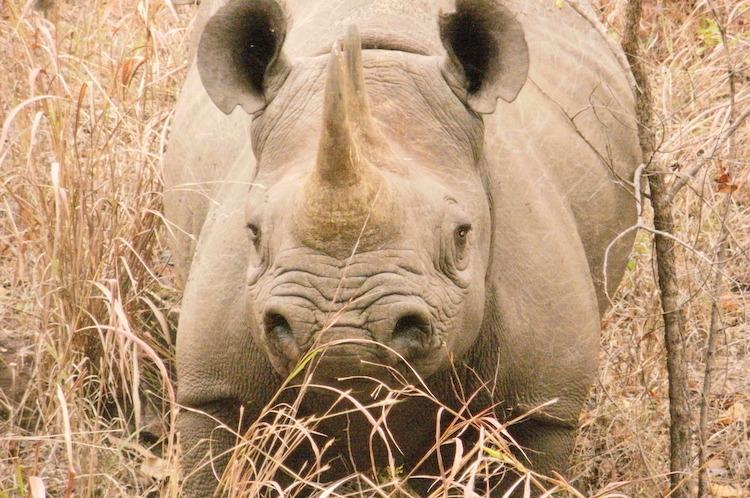 Rhino in Majete, Malawi
