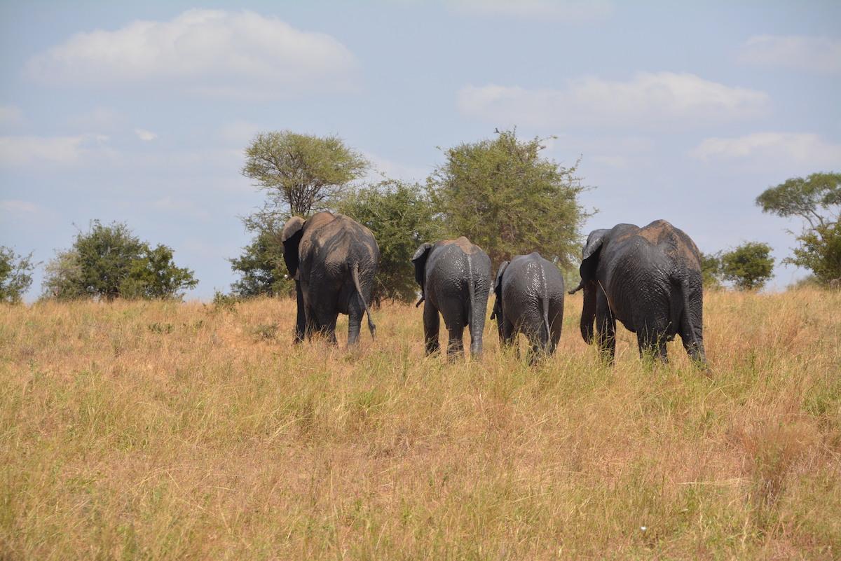 elephants, zimbabwe park