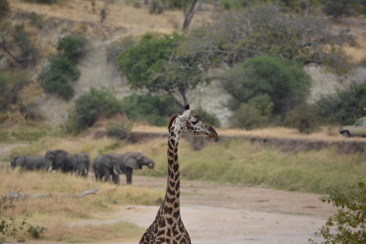giraffe, zimbabwe