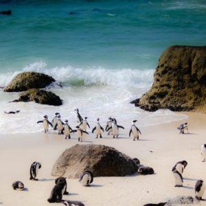 penguins, cape town