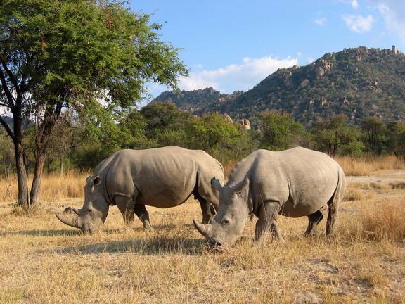 rhino, matobo national park