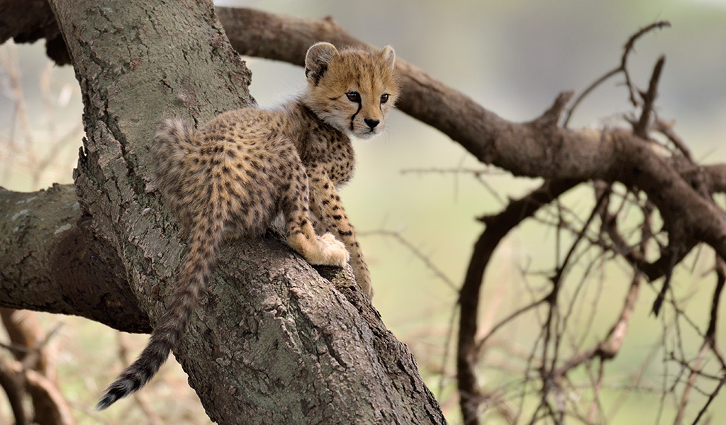 cheetah cub, the Serengeti