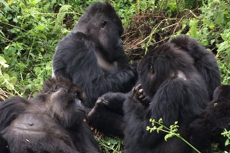 gorilla group in Rwanda