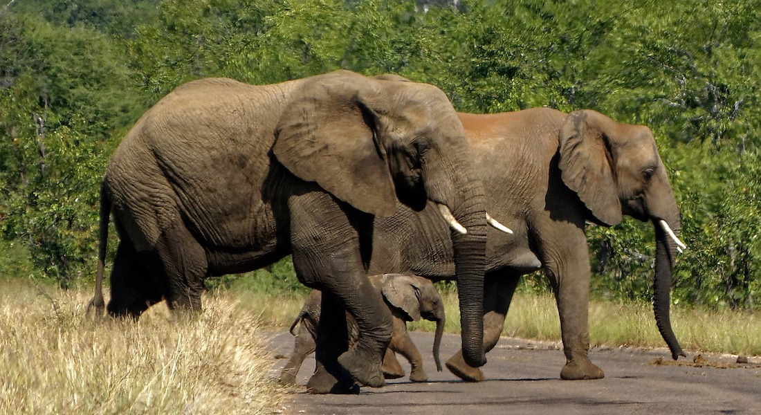 elephants, kruger national park