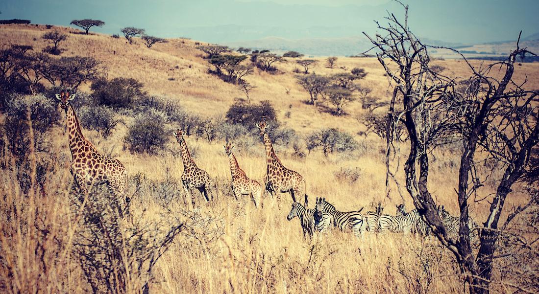 Game Walk in kwa-zulu natal, Zebra