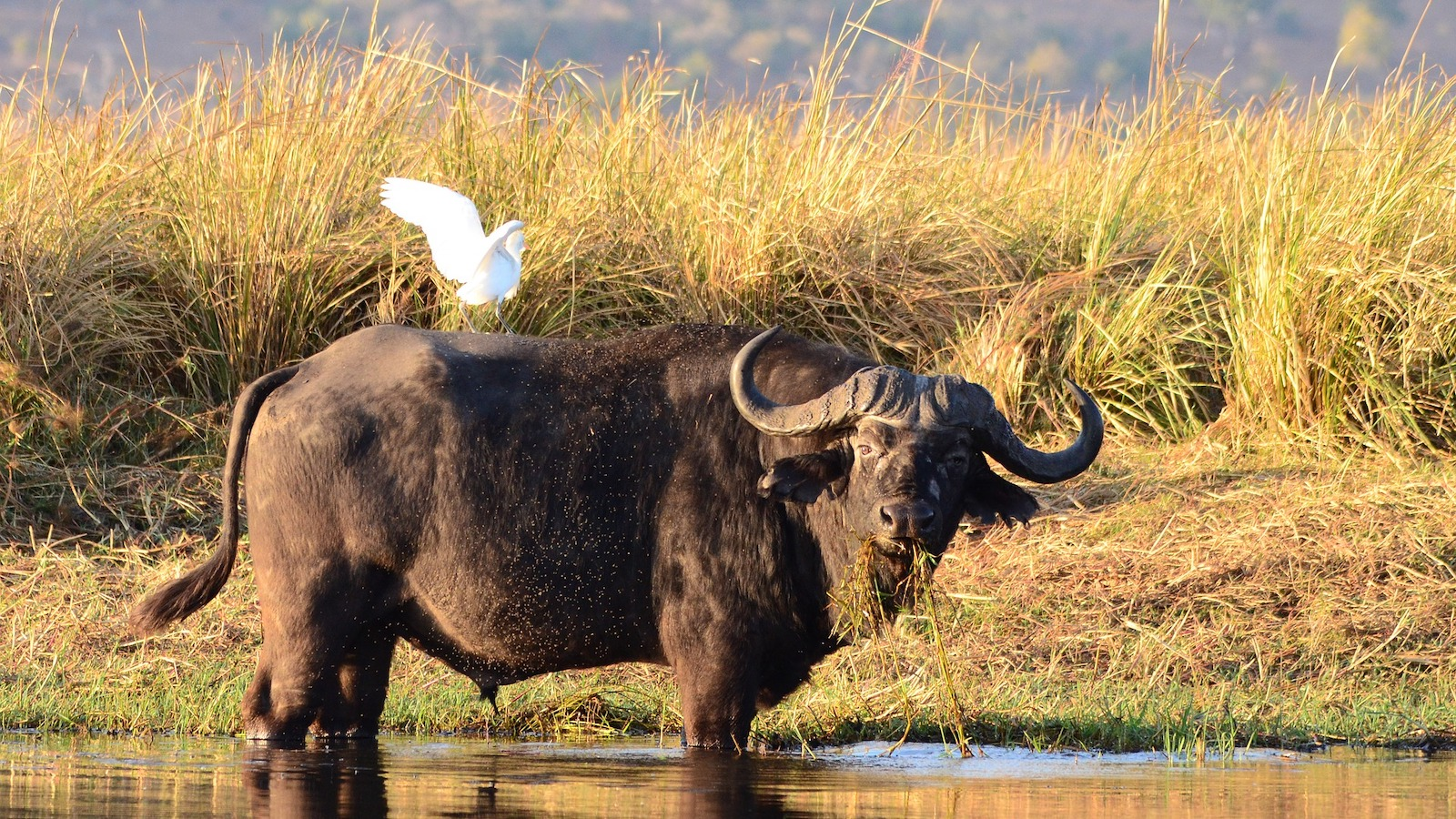 water buffallo botswana