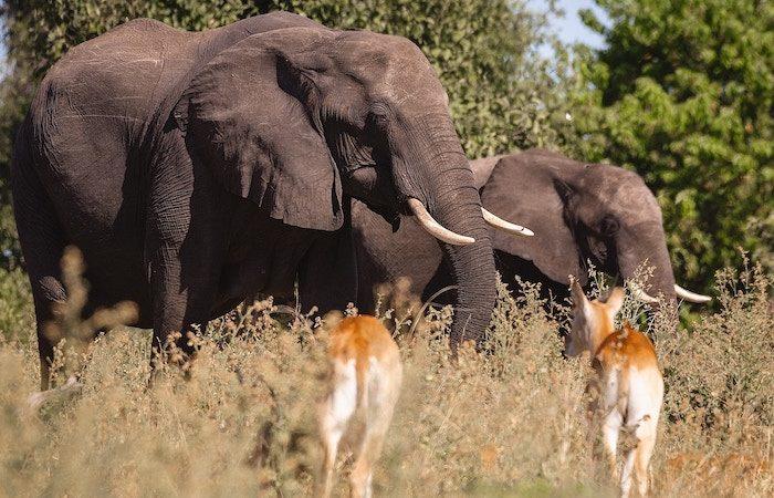 elephants and impala