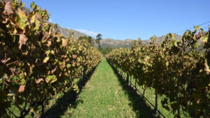 vineyard in cape winelands, south africa