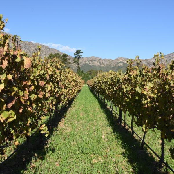 vineyard cape winelands
