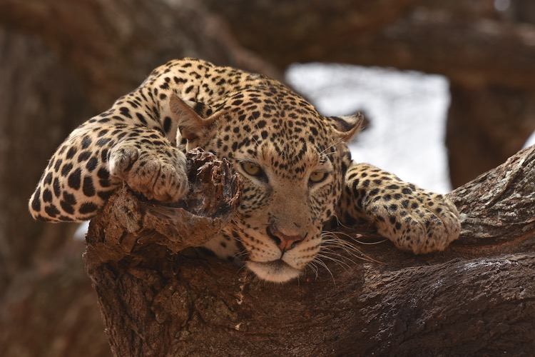 Leopard in a tree resting
