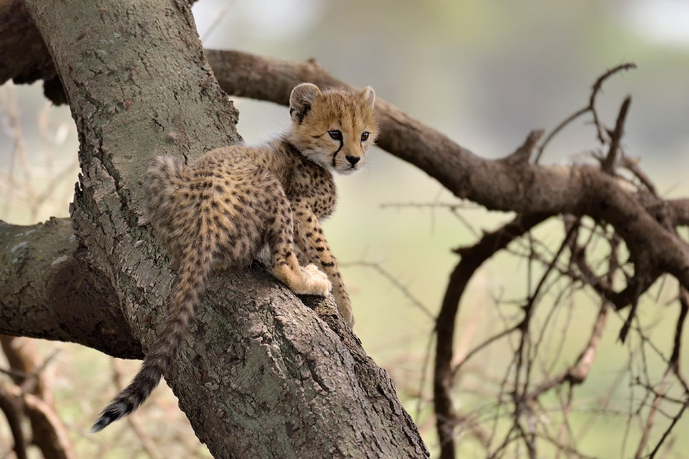 baby cheetah on a tree east africa-min