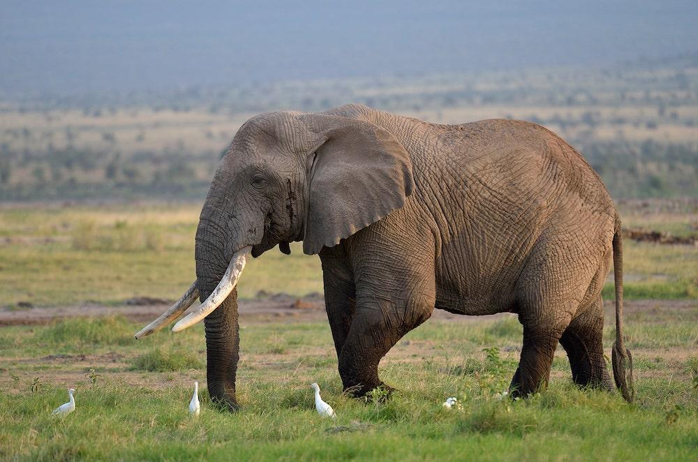 elephant in tanzania during off season