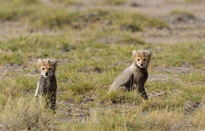 two baby cheetahs during low season