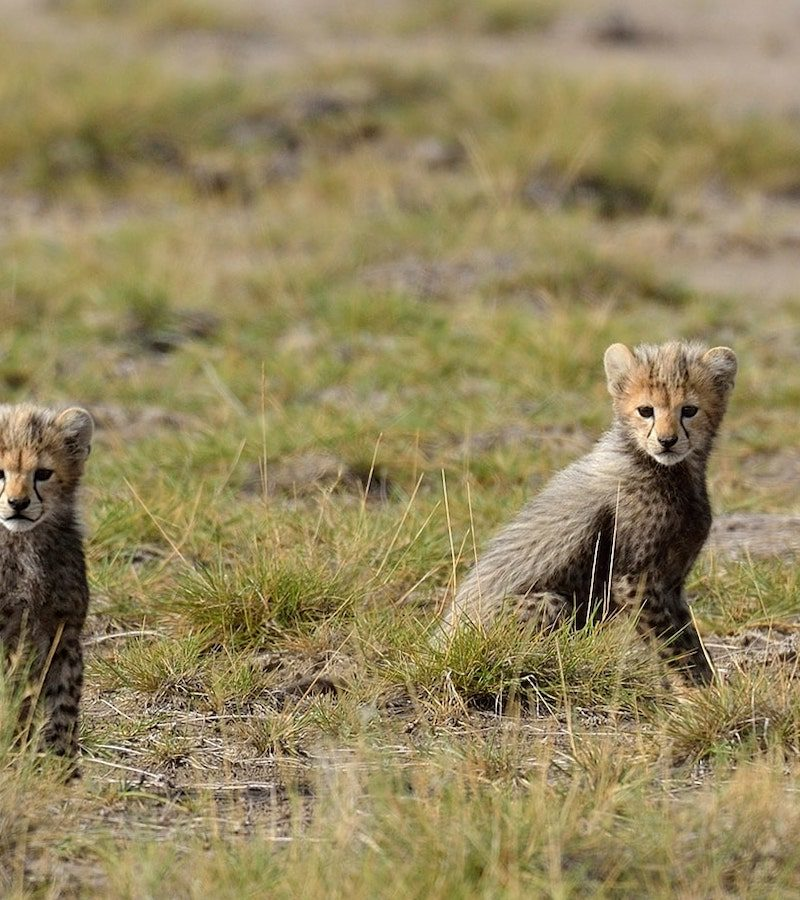 two baby cheetahs during low season