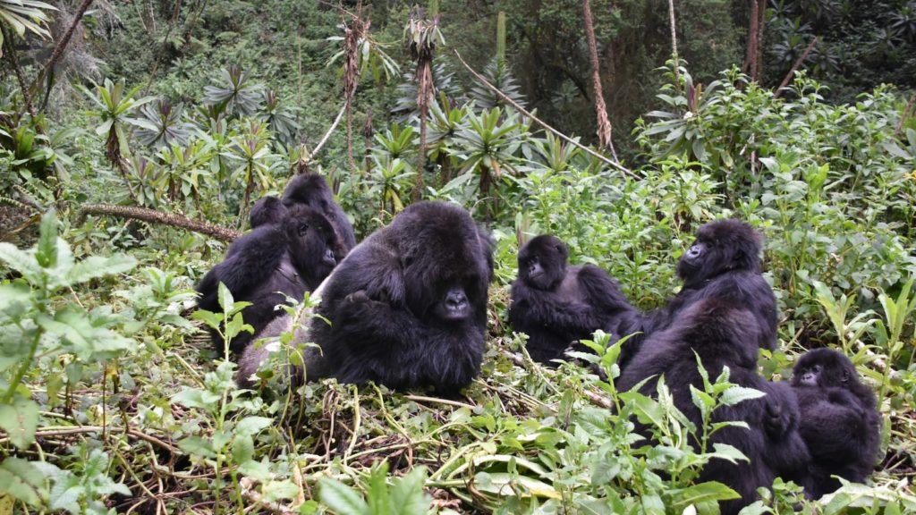 Rwanda Gorilla troop