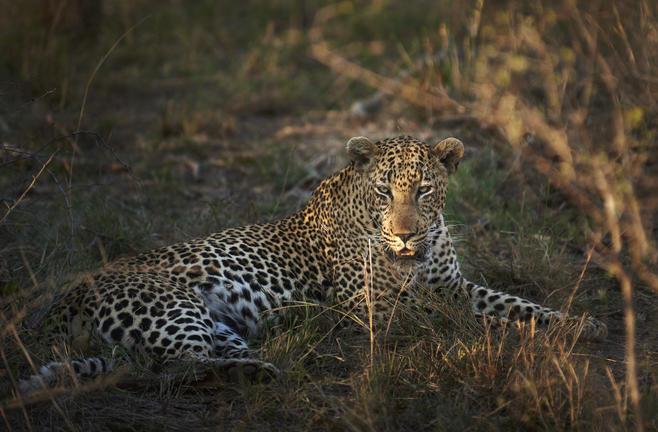 leopard in Kapama